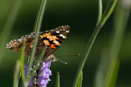 Painted Lady Butterfly -Vanessa cardui